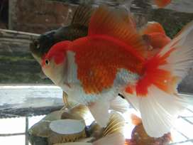Jual paket ikan maskoki oranda rosetail