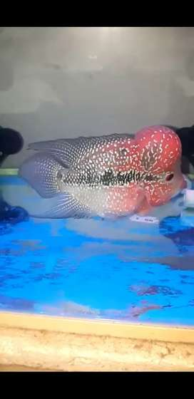 Super Red Dragon Size 5 inch Flowerhorn.