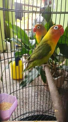 Lovebird pasangan kekekan