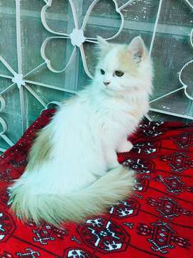 Parshian cat