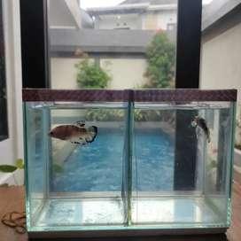 Paket Ikan Cupang Male Female + Aquarium