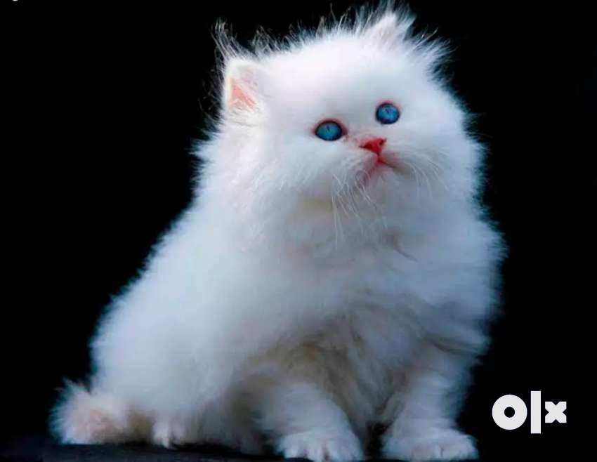 Pure breed Persian kittens for sale 0