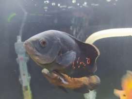 Parrot and Oscars fishes available. 2 piece Parrots and 3 piece Oscars