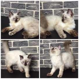 Kucing himalaya betina 3,5 bulan BEKASI CAT HOUSE
