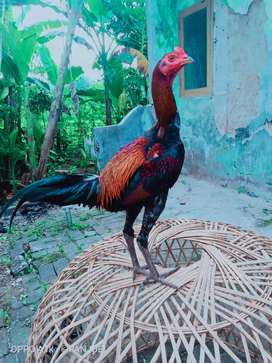 Ayam Mangon iq calon gampar