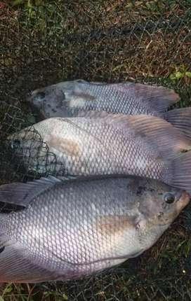 Ikan segar konsumsi dan bibit