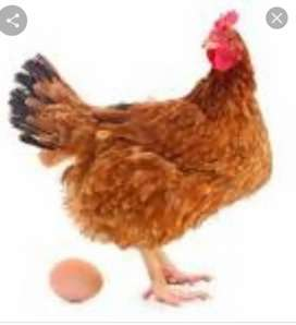 Hens and eggs far sale