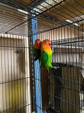 Lovebird bio x bio