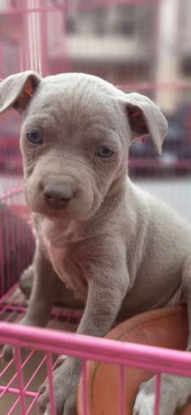 American PITBULL PUPPY AVAILABLE