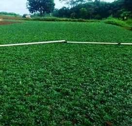 Jual rumput Gajah Mini & Jasa Pasang