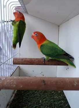 2 ekor Lovebird biola green split blue unsex paud