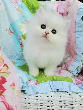 100% pure good quality Persian cat kitten cash on delivery