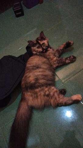 2 kucing persia siap kawin