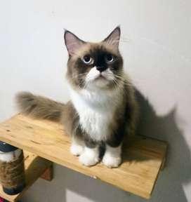 Kucing Himalaya Jantan Bigbone Gembul Full Vaksin