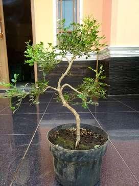 bahan bonsai kemuning jepang small
