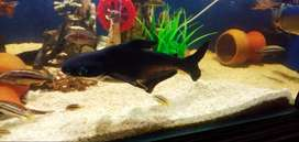 Big size adult shark fish for aquarium?