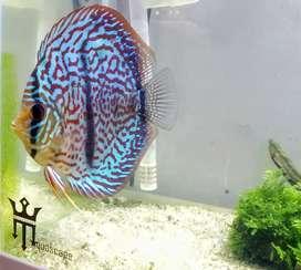 Ikan Discus grade berkualitas