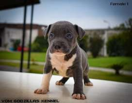 2 Top Notch Quality Pedigreed Blue Pitbull Puppies