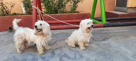 Russian poodle pair