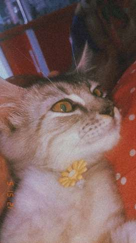 Kucing Campuran