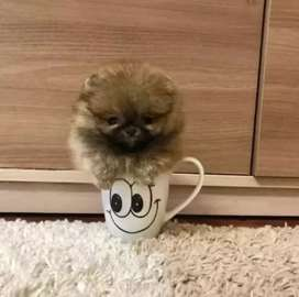 Teacup pomeranian pup available for import