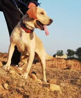 Labrador Young 8 Month for sale