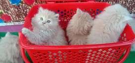 100% Pure & Cute Persian kittens