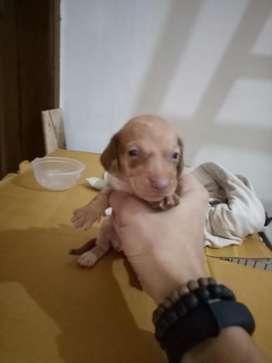 Anjing tekel / dachshund