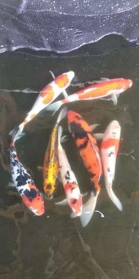 Jual Ikan Koi (Hasil Budidaya Sendiri)