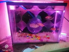 One aquarium and nine fishes I have many pets and birds and aseel hen
