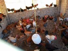Golden Misri Heavy weat Egg Laying for Sale.