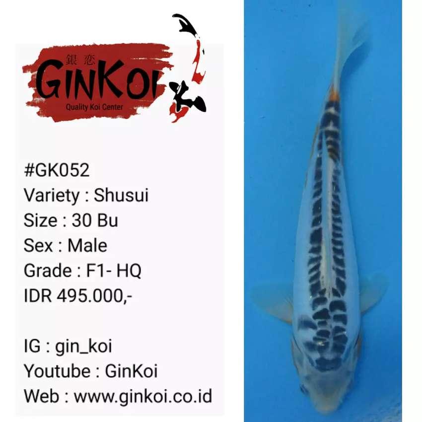 [Ikan Koi] GinKoi - Shusui F1 - HQ 0