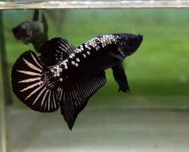 Ikan betta warna hitam murah