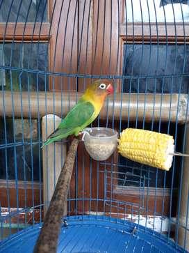 Love Bird Josan Ring Plus Kandang Murmer