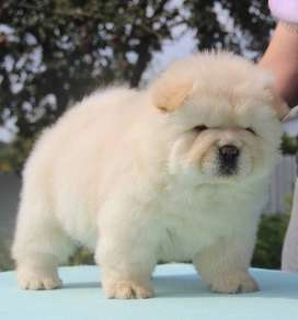 Chow Chow pick male puppy