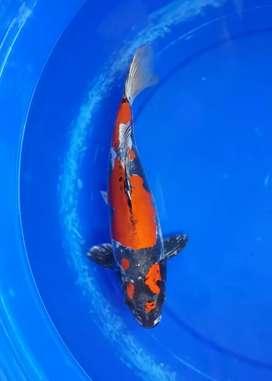 Ikan koi SQ dan HQ