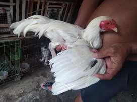 Ayam putih selip hitam jntan