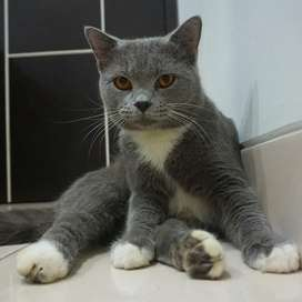 Jasa Pacak Kucing British ShortHair