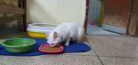 Persian female white cat double coated