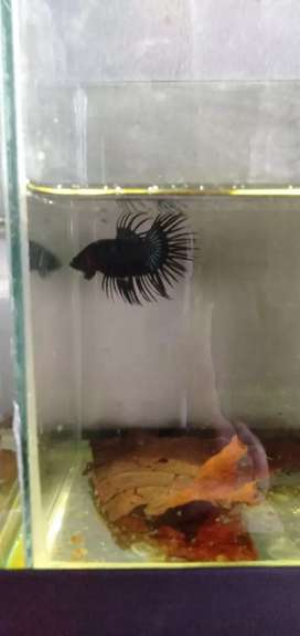 CrownTail black orcid