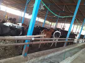 Dairy farm for sale with 120 animals in patoki