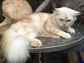 Kucing perisa medium jantan