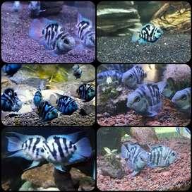 Ikan blue pollar cichlid untuk aquarium dan aquascape