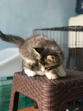 persia kitten 2bulan