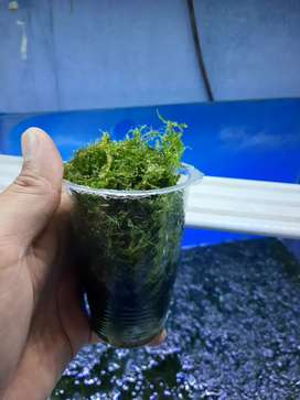 Moss bahan seger