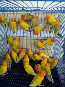 jual borongan Burung lovebird paskun pastel kuning