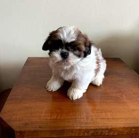 Anak Anjing Shih Tzu Jantan