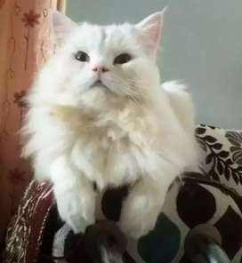 Arabic Persian Cat's are available in Uttarakhand