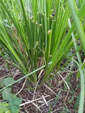 Rumput Vetiver Kokoh Kuat Untuk Tebing Rawan Longsor