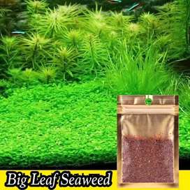 carpet seed big leaf seaweed aquascape